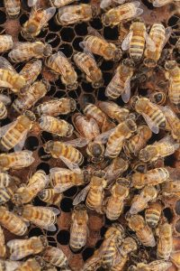 A cluster of bees mingling, with one distinctly larger and darker one, the queen, in the middle.