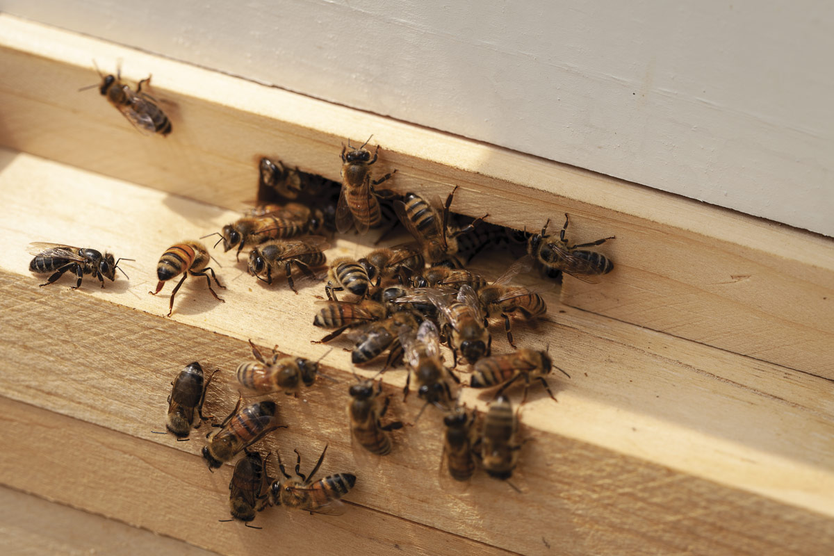 Cluster of honeybees crawling in and out of a hive's opening.