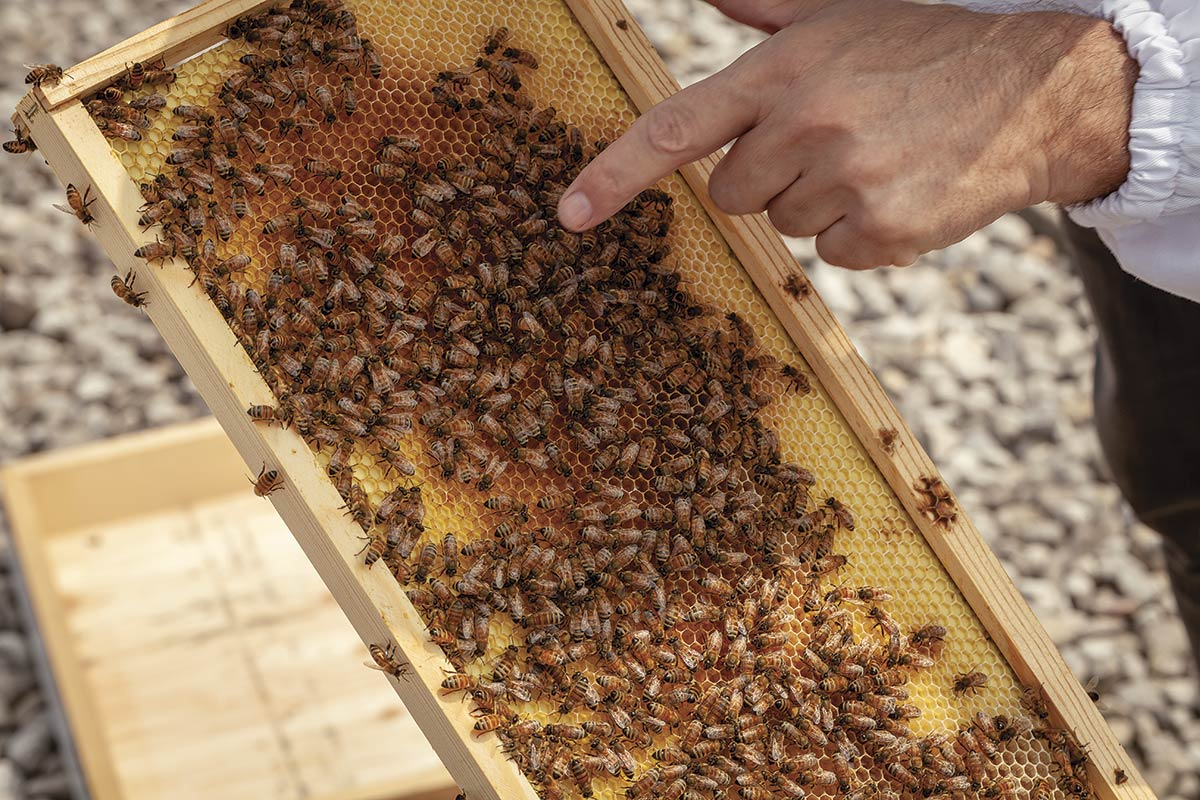 Hand pointing to bees on a sliding frame honeycomb.