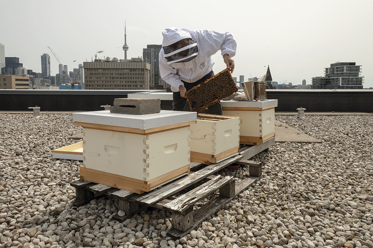 Beekeeper [Tom Nolan] on a roof working with a hive, with the Toronto skyline behind him.