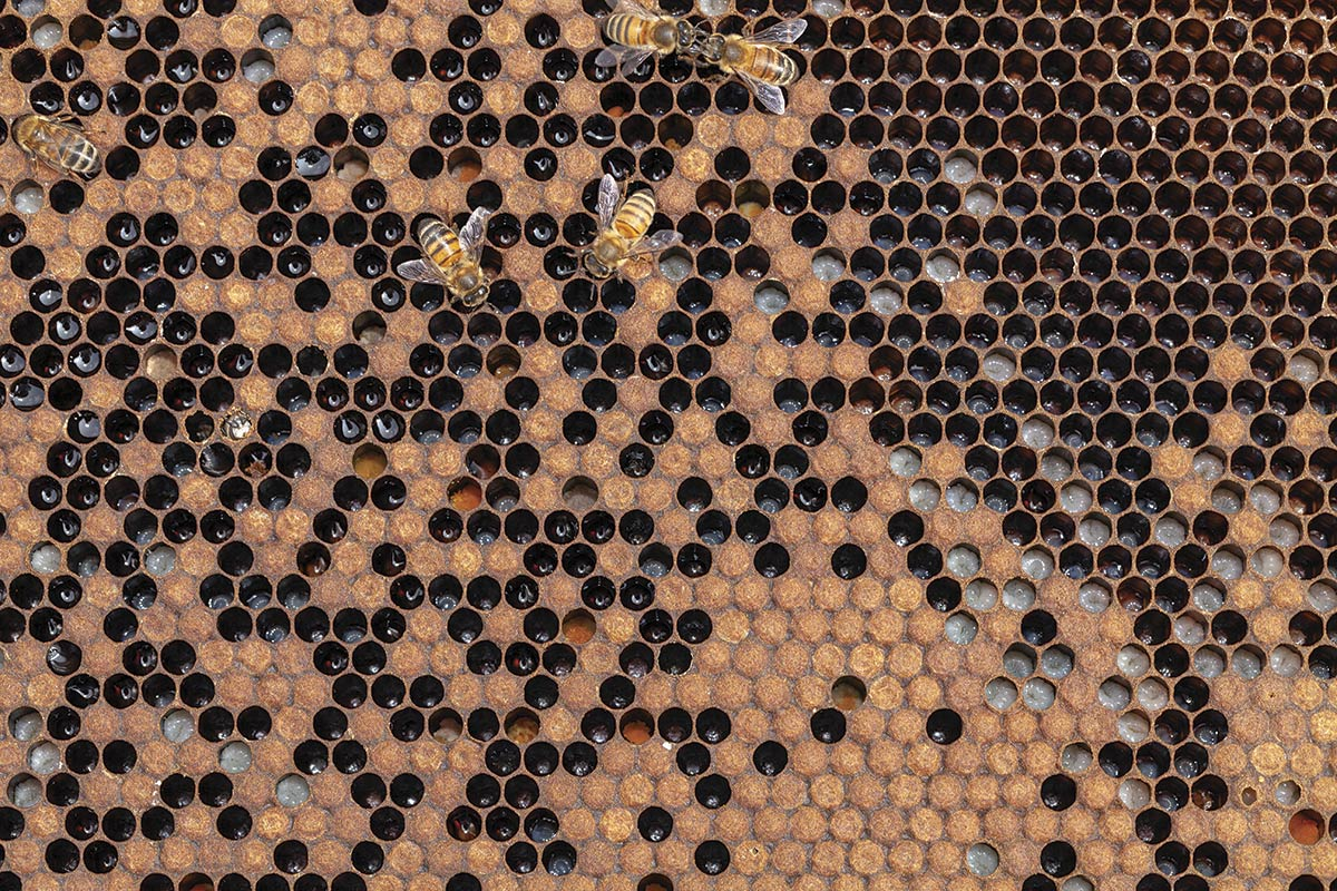 Close-up of comb partially filled with bees about to hatch, with bees working on the comb.